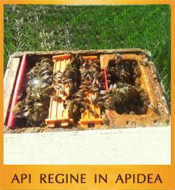 Api Regine in Apidea